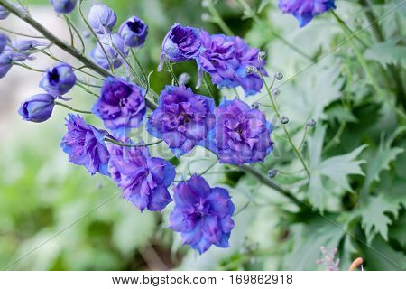 Purple Delphinium Ranunculaceae flower commonly grown in English gardens