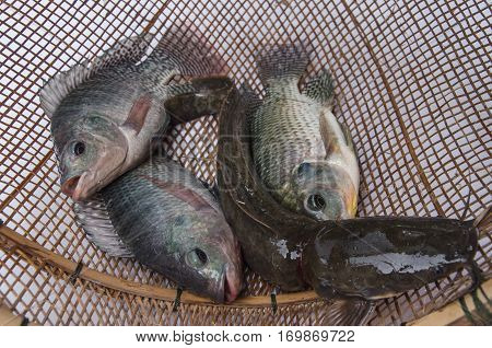fresh tilapia catfish fishes on Bamboo wickerwork