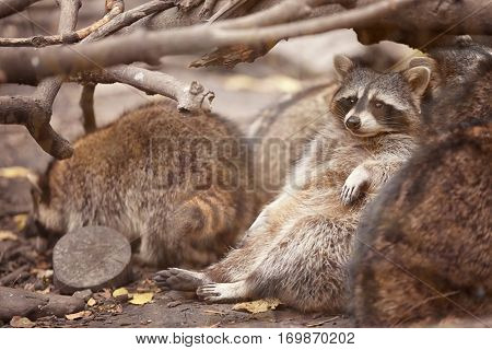 Cute funny raccoons in zoological garden