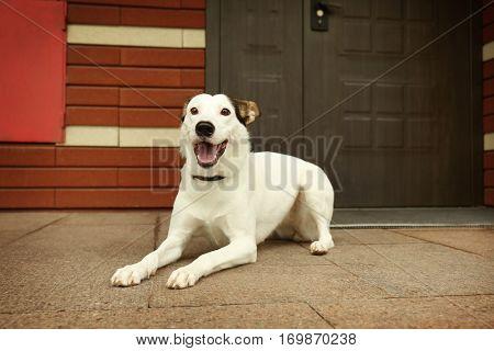 Andalusian ratonero dog outdoors near doorstep