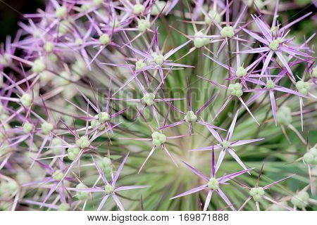 Allium flower closeup, a monocotyledonous flowering plant cultivated in the onion, garlic, chive, shallot and leek species
