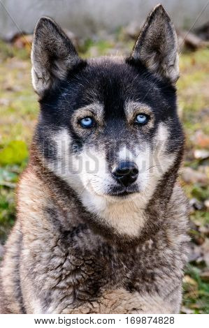 Sad Siberian Husky waiting to master. Moulting dog. Proud husky. Dog life.