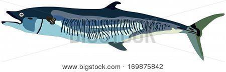 Vector Mackerel Fish lives is ocean and under deep blue water life one of top sea predators