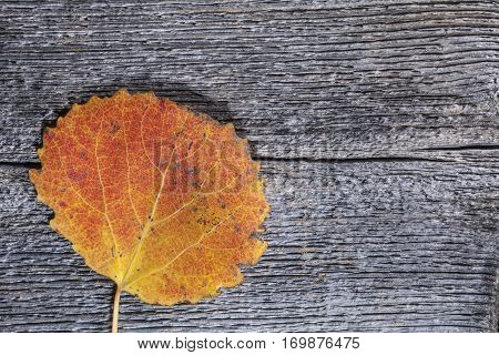 Colorful autumn, fall leaf on a wooden background. Aspen leaf in red and yellow in closeup, macro. Weathered plank, board.