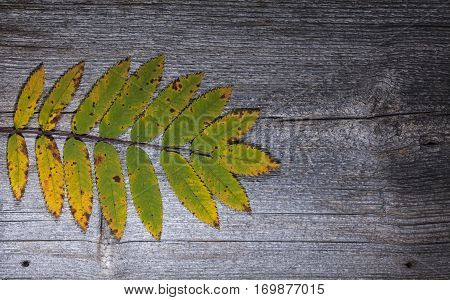 Colorful autumn, fall leaves on a wooden background. Rowan leaves in yellow and green in closeup, macro. Weathered plank, board.