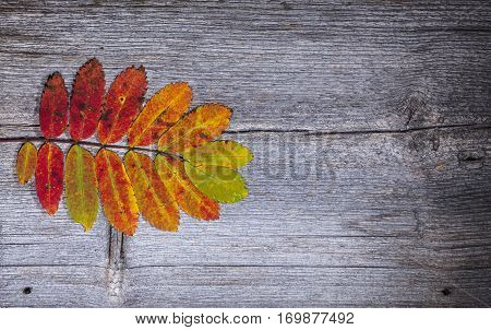 Colorful autumn, fall leaves on a wooden background. Rowan leaves in orange and red in closeup, macro. Weathered plank, board.