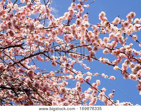 Blossoming Japanese plum tree against blue sky