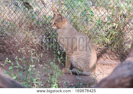 Young Asian golden cat sitting on the ground.