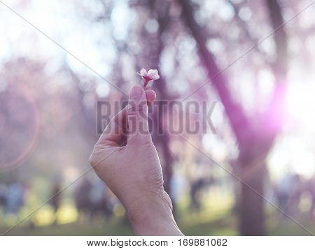 Sakura flower on mini heart finger over blurry sakura tree background with flare sunlight vintage and soft style.