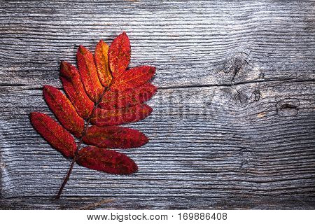 Colorful autumn, fall leaves on a wooden background. Rowan leaves in red in closeup, macro. Weathered plank, board. HDR.