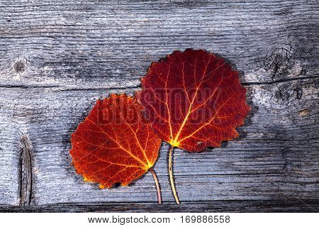 Colorful autumn, fall leaves on a wooden background. Aspen leaves in red in closeup, macro. Weathered plank, board. HDR.