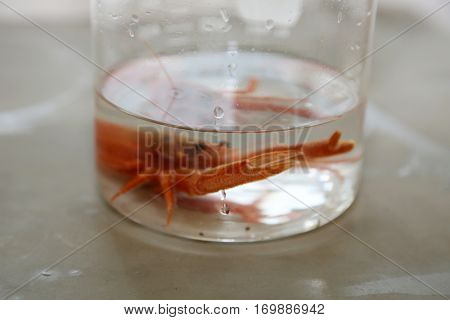 Pleuroncodes planipes aka Red Pelagic Crab. Live specimen of a Red Pelagic Crab in a Marine Biologist laboratory.
