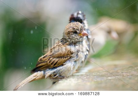 Sparrows having bird bath
