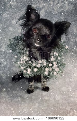 Chiwawa Christmas poster, just add the words!