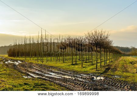 Nursery of roadside trees at the end of a sunny day in the winter season. In the foreground are muddy tire tracks and puddles of water.