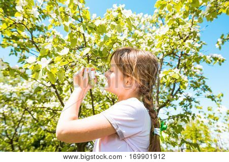 Small girl sniffs blooming apple flowers in orchard