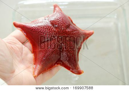 Close Up view of a Living Bat Star aka Patiria miniata, a species of Starfish in a Marine Biology Laboratory.  Biology and Science Lab and research.