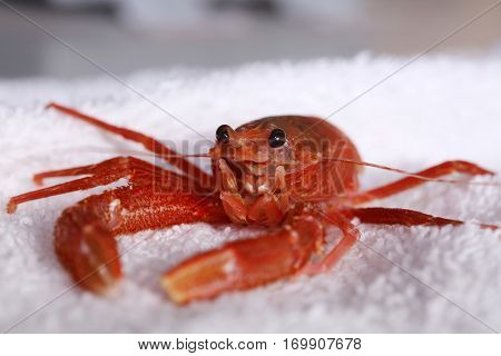 Close up view of a Red Pelagic Crab aka Pleuroncodes planipes. A marine biologist or veterinarian holds and examins a live red crab in a laboratory.