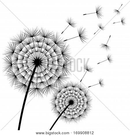 Two stylized black dandelions with flying fluff on white background. Floral stylish modern wallpaper with summer or spring flowers. Beautiful trendy nature backdrop. Vector illustration