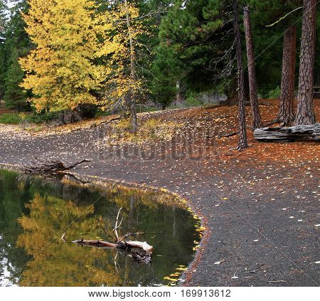 A tree with leaves that have turned yellow for the fall reflects in Scout Lake in Central Oregon with leaves and pine needles on the ground on shore with ponderosa pines and fir trees.