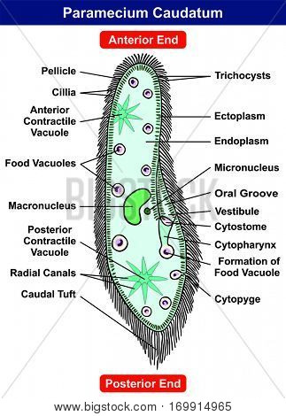 Paramecium Caudatum Diagram single celled protist animal with all part anterior posterior ends pellicle cillia contractile food formation vacuole nucleus ectoplasm endoplasm for science education