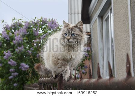 Thoroughbred cat with blue eyes on the fence. Pets