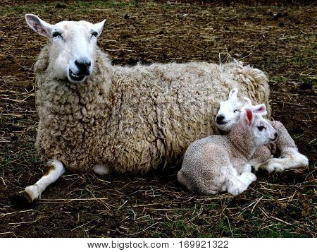 Two spring newborn lambs contentedly snuggle their protective mother on a farm in rural Terrebonne in Central Oregon.