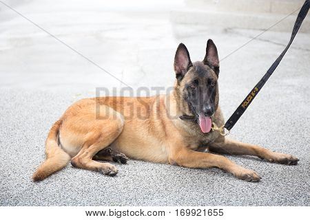 single Alsatian dog in police k-9 unit crouch on ground
