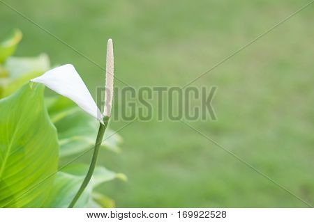 Spathiphyllum Wallisei Or Peace Lily With Blur Green Background