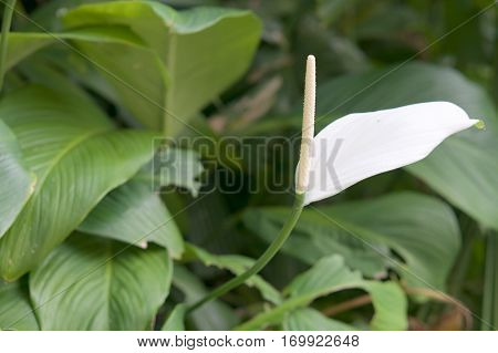 Spathiphyllum Wallisei Or Peace Lily With Green Leaves Background