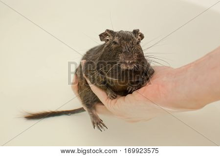 rodent sitting in hand and looking at camera