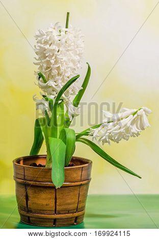 White Hyacinthus Orientalis Flower (common Hyacinth, Garden Hyacinth Or Dutch Hyacinth) In A Brown R
