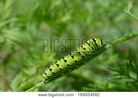 Black swallowtail caterpillar on green plant in the garden