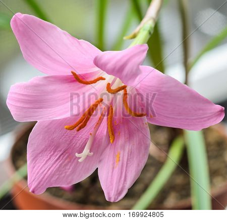 Pink-purple Zephyranthes flower close up isolated white background. Common names for species in this genus include fairy lily rainflower zephyr lily magic lily Atamasco lily and rain lily.