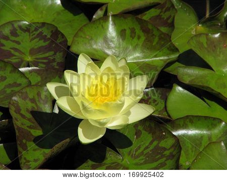 yellow water lily flower on lily pad background