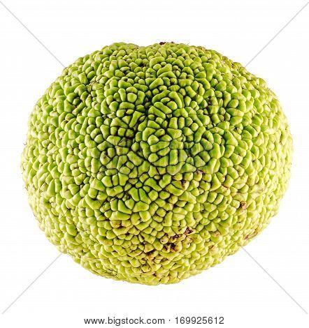 Green Fruit Of Maclura Pomifera, Also Known As Osage Orange, Hedge Apple, Horse Apple, Monkey Ball,