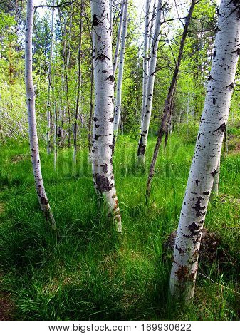 Brilliant fresh green grass covers the ground in an aspen grove at Shevlin Park in Bend in Central Oregon on a summer day.