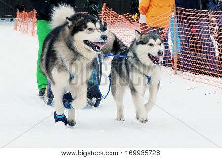 Husky dogs sled in harness on snow the track in winter. Sports sled dog race. Strong hardy Siberian dogs. Energetic Pets run and compete.