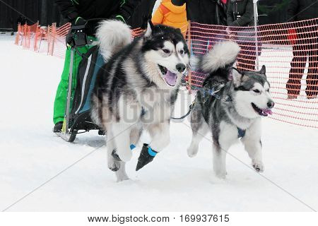 Strong hardy Siberian dogs sled run in harness on snow the track in winter. Sports sled dog race.  Energetic Pets run and compete.