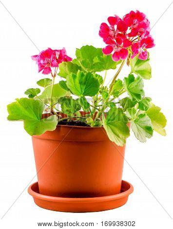 Red Geranium Flower In A Brown Flower Pot, Close Up, White Background