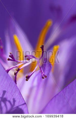 A closeup of a purple crocus stamen.