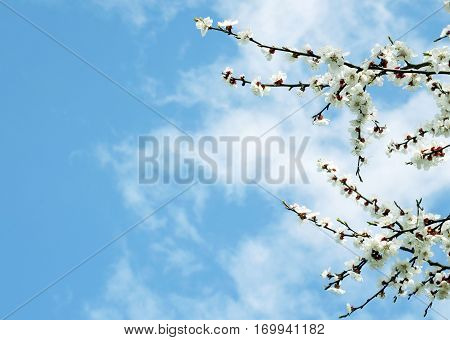 Apricot blossom border.Blossoming branches of apricot tree on a blue sky background.Spring background.Copy space.