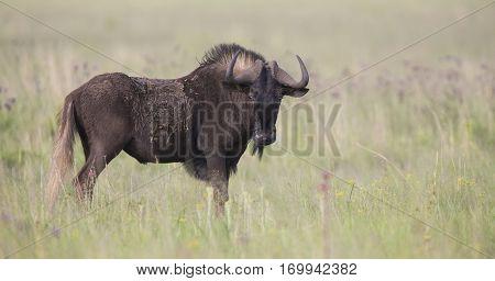 Black wildebeest male standing on an open grass plain