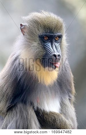 A young Mandrill with his tongue out of his mouth