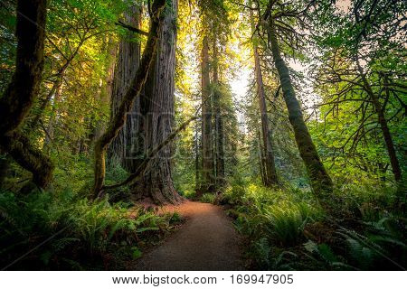 Image of a sunlit forest trail in the Redwoods National Forest, California.