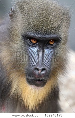 Portrait of a young and colorful Mandrill