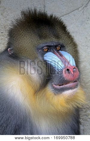 Portrait of a male Mandrill with a blurry background