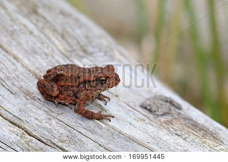 Close up of a Toad on wood