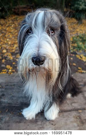 A Bearded Collie with a blurry background
