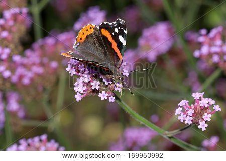 An Atalanta butterfly on a purple flower